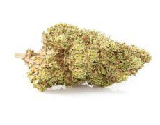 CBD Blüten der Sorte Orange Bud