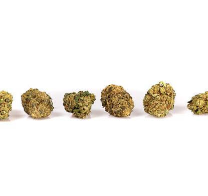 gorilla glue marihuana pflantze