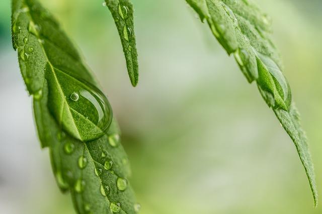 CBD Cannabisöl zu nehmen