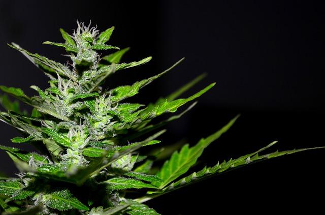 Nebenwirkungen des Cannabiskonsums