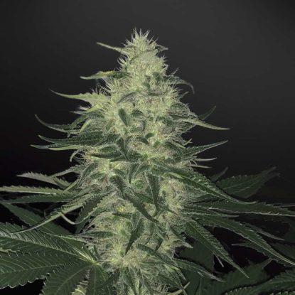 godzilla-glue-marihuana-samen-kaufen