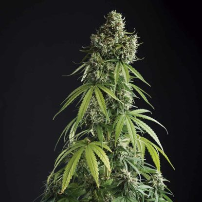 lemon-blossom-cannabis-seeds