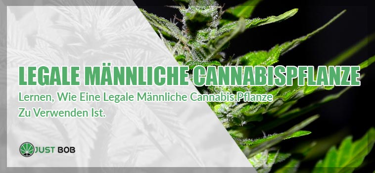 Legale männliche Cannabis pflanze