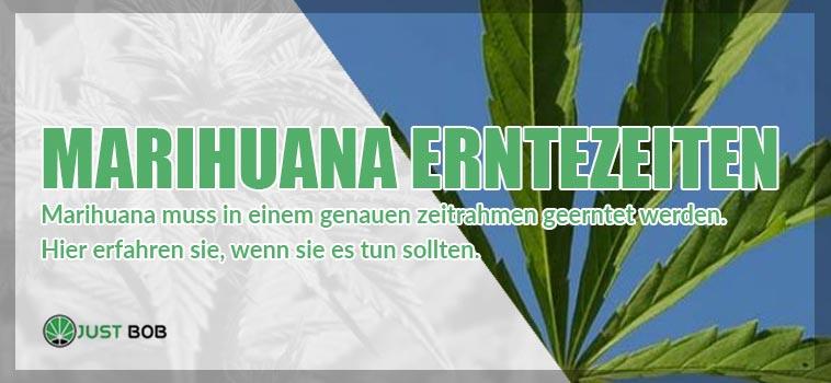 Marihuana Erntezeiten