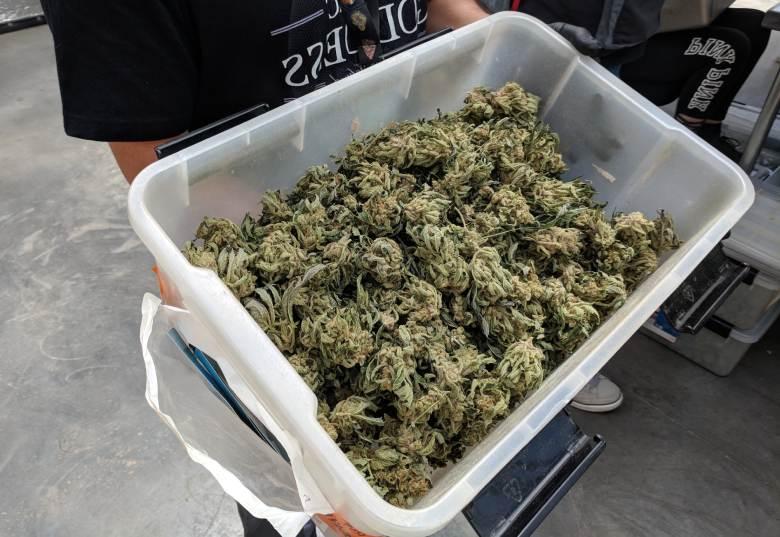 Marihuana Blütenpflücken California Haze cbd