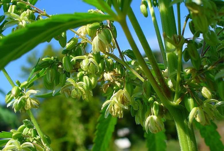 legales Männliche Marihuana Pflanze