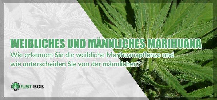 Weibliches und männliches Marihuana