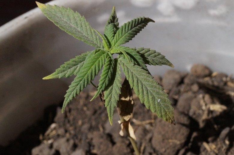 cannabis leicht in spanien