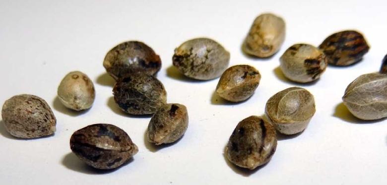 hemp seeds männliche Marihuana cbd