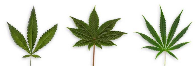 cannabis ruderalis cbd