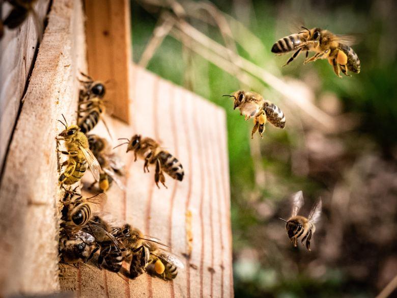 legaler Hanf und Bienen