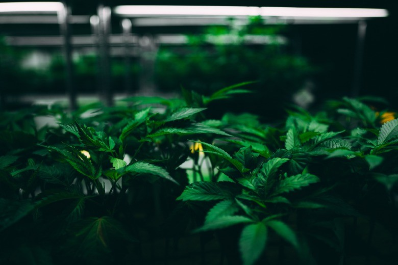 Durchschnittspreis von cbd Cannabis