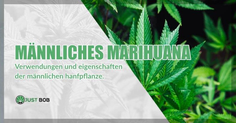 Männliches cbd cannabis