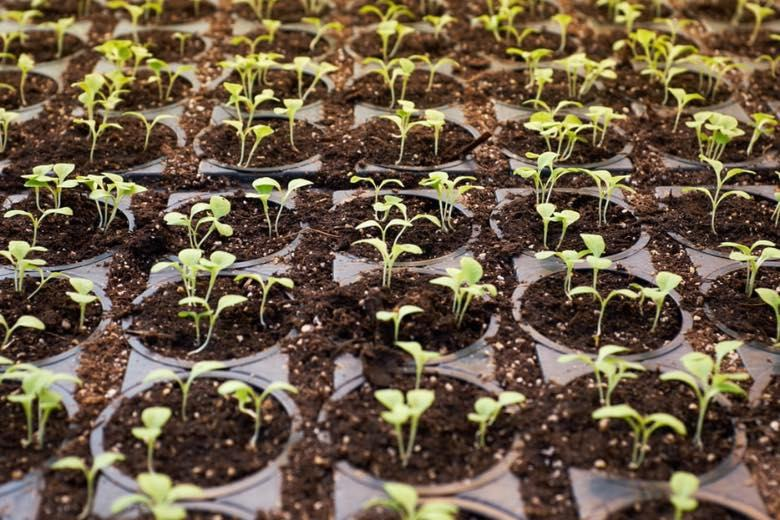 cbd cannabis pflanze männlich oder weiblich