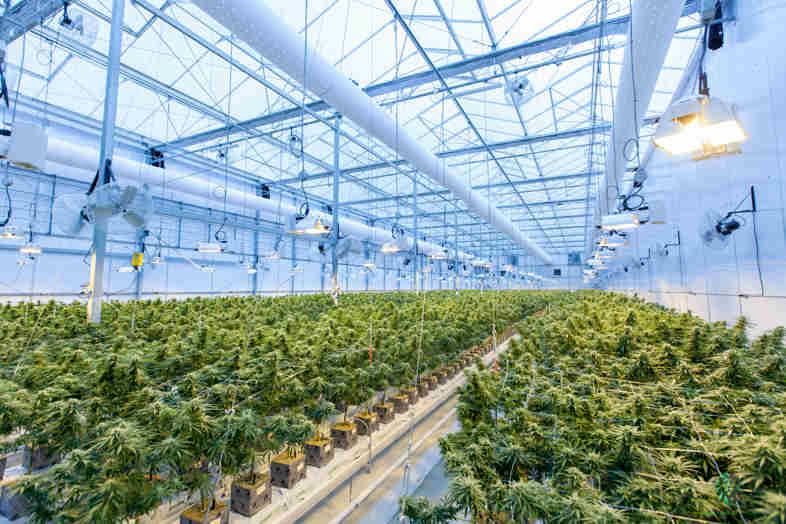 Anpflanzen von Marihuana: Das sind die Risiken von DIY (und warum es sich lohnt online einzukaufen)