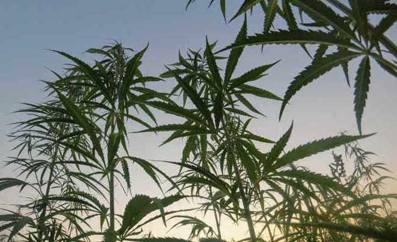 Cannabisabhängigkeit: Das müssen Sie wissen 2