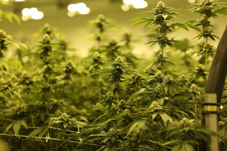 Großartiges Marihuana: Die Hauptverwendung von Hanf in der industriellen Welt 2