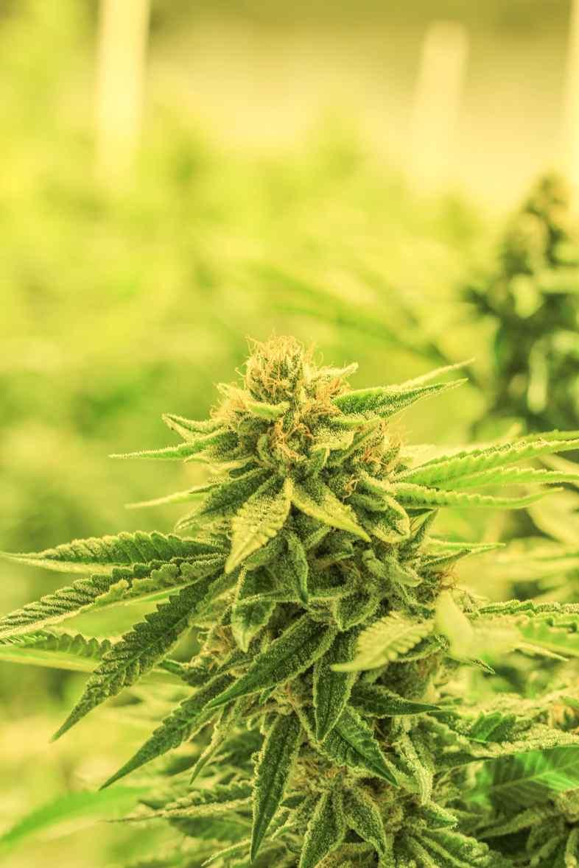 Cannabis Indica hat den höchsten CBD-Gehalt