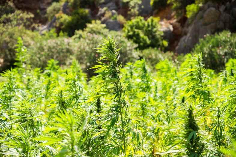 Ruderalis Cannabis ist am widerstandsfähigsten gegen niedrige Temperaturen