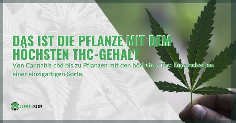 Das Geheimnis der Pflanze mit dem höchsten THC-Wert