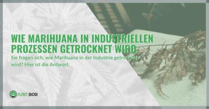 Wie Marihuana in industriellen Prozessen getrocknet wird.