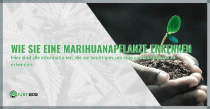Wie Sie eine Marihuanapflanze erkennen