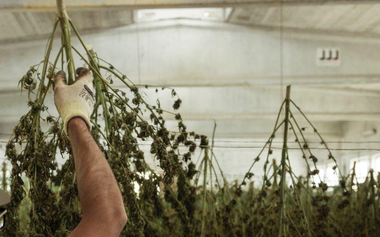 Ernte von Cannabis zur Herstellung von Burbuka-Haschisch