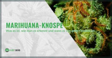 Was sind Marihuana-Knospen und wie erkennt man, ob sie von Qualität sind