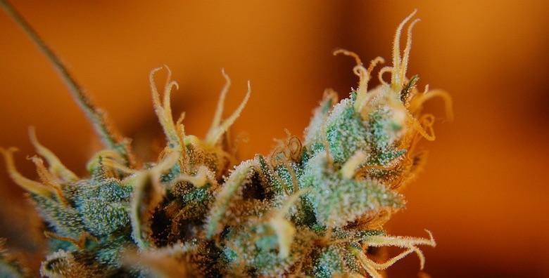 Leichte Cannabisblume mit reifen Trichomen