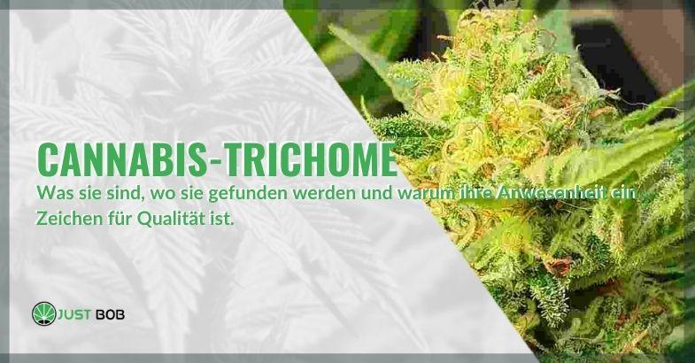 Was sind Cannabis Trichome und warum sind sie sehr wichtig?