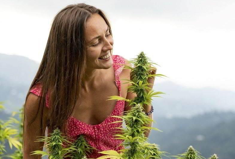 Das Aroma von Cannabis auf der Plantage