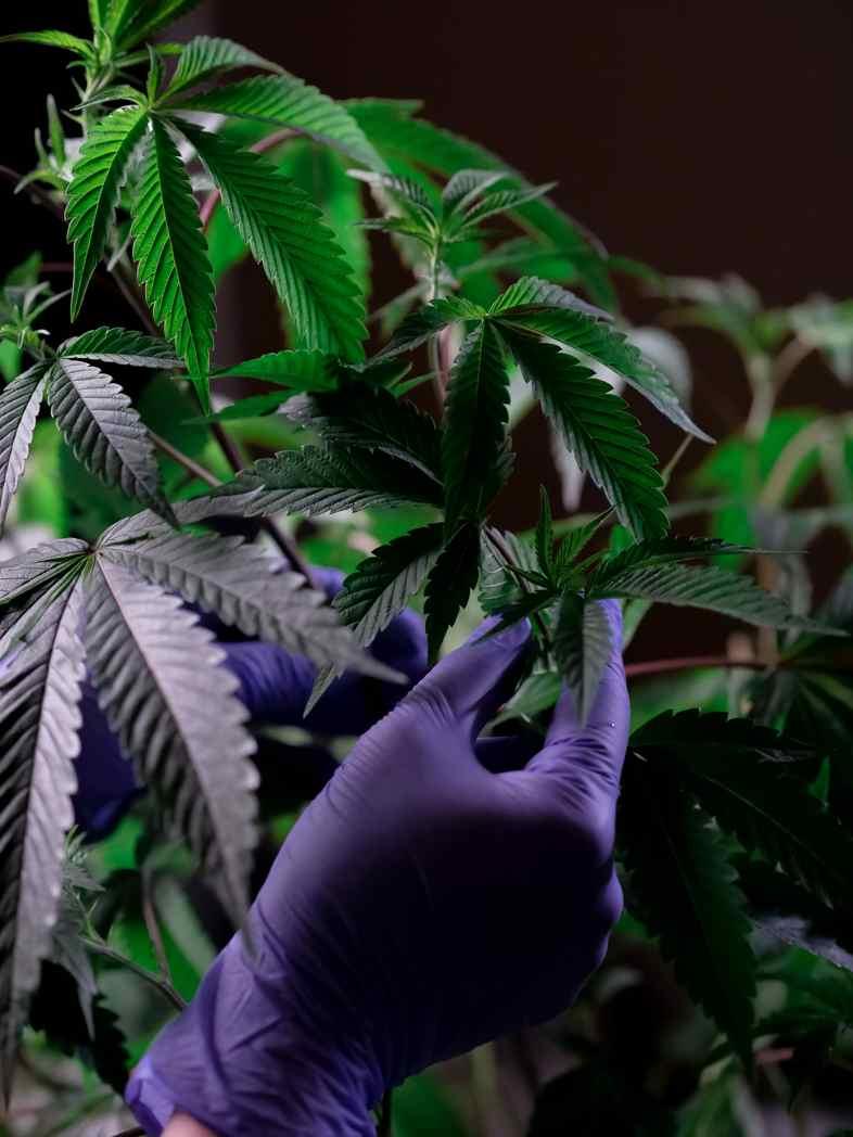 Die Gewinnung von Cannabidiol aus der Cannabispflanze