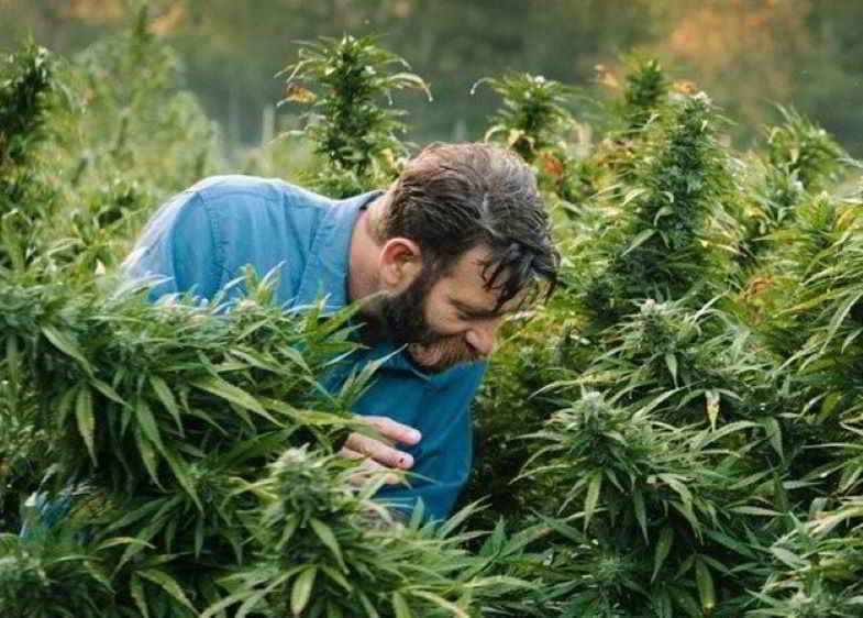 Kontrolle der Wirkung von Enzymen in Cannabis