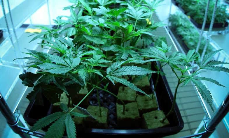 Leichter Cannabis genießt deutliche Vorteile beim aeroponischen Anbau