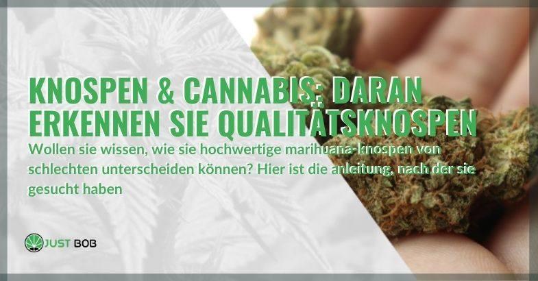 So können Sie feststellen, ob Ihre Cannabisknospen von guter Qualität sind.