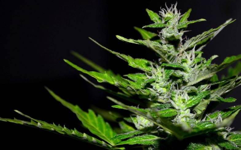 Hanfpflanze ohne Bernstein-Trichome