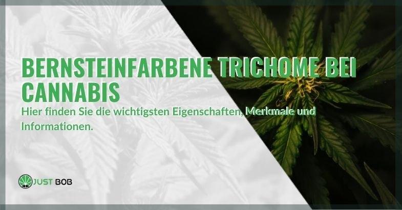 Alles über bernsteinfarbene Cannabis-Trichome
